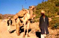 Camels carry food aid to isolated communities in Eritrea, 1988. Photo by Merrill Findlay.