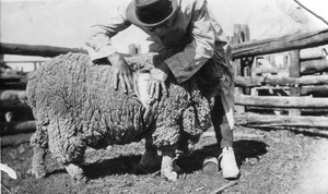 Grandfather Austie L'Estrange judging a stud merino ewe, probably at Condobolin, NSW, sometime pre-1927.