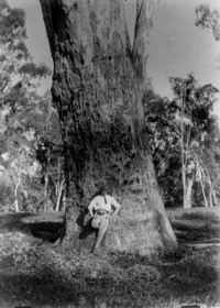 French-Australian writer Paul Wenz posing with an ancient eucalypt on Nanima Station c. 1898. Such trees were once prolific in the Lachlan River Valley but few of this size now remain.